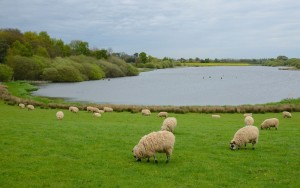 Sheep and the lake